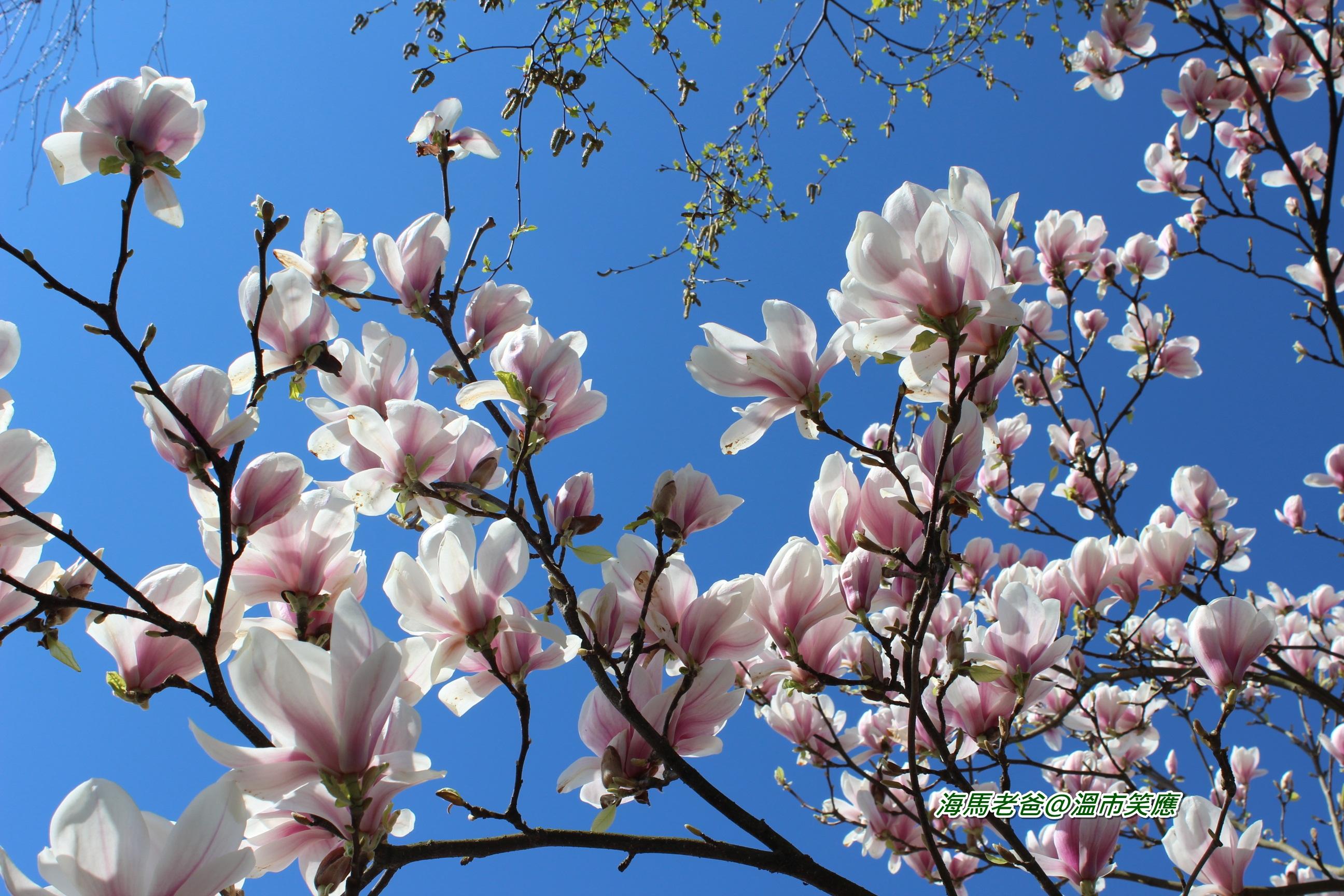 溫哥華賞花|春意盪漾,滿街的木蘭花