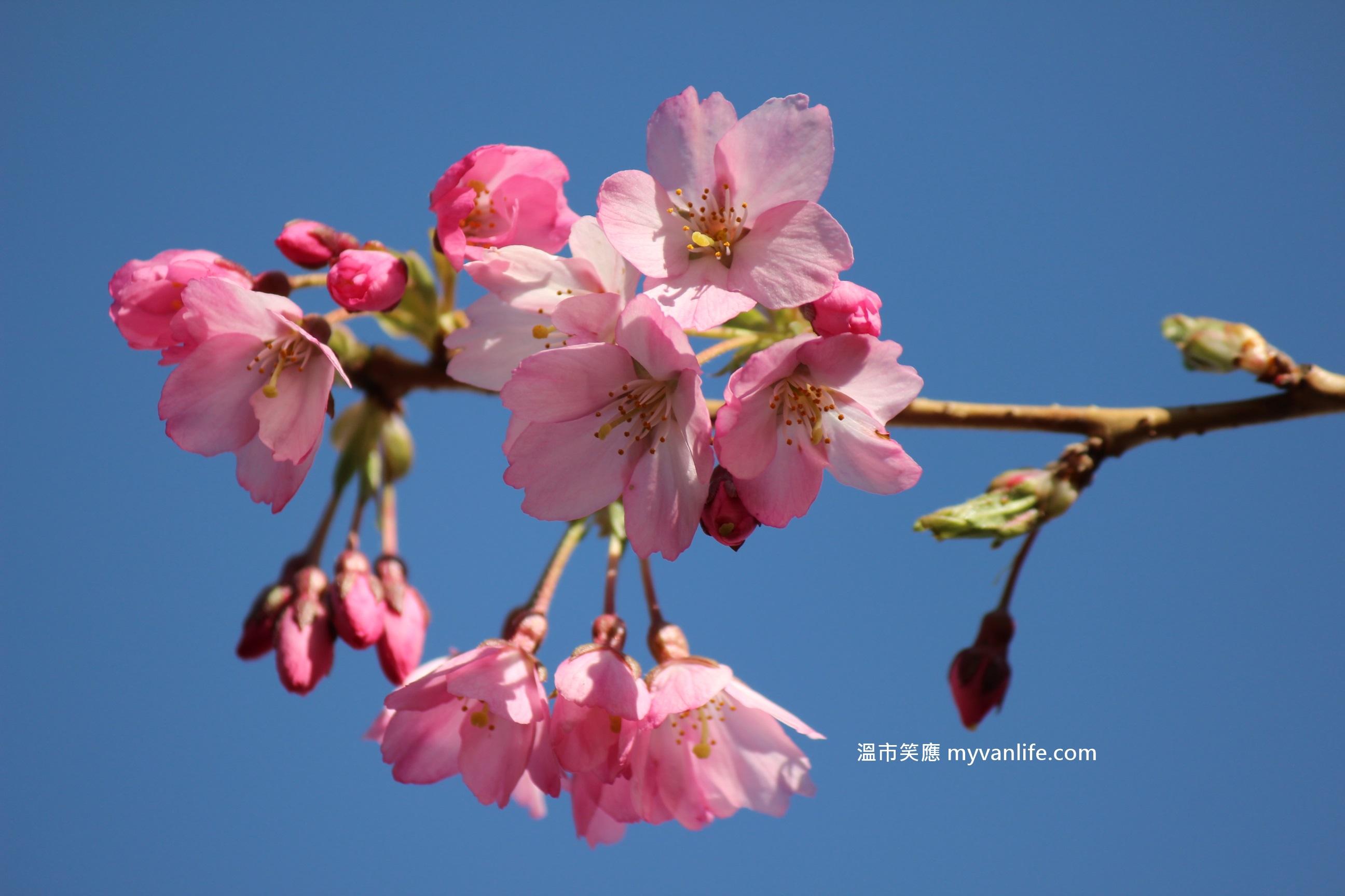 溫哥華櫻花賞 春深了,賞櫻的工具準備好了嗎?