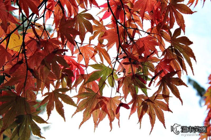 溫哥華旅遊|十月楓情萬種,溫哥華賞楓正是時候